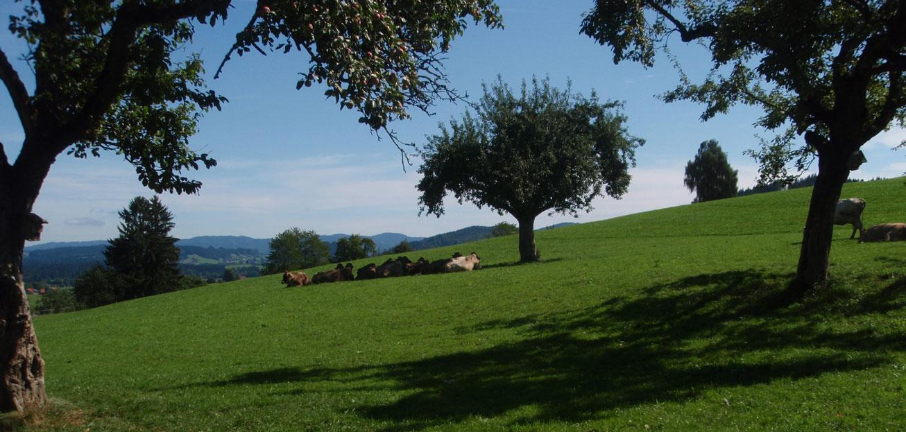 Birnd-Kuehe-im-Schatten