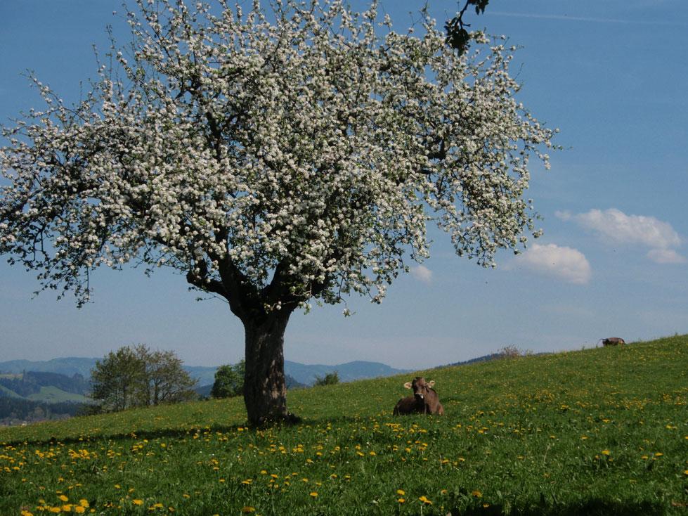 Loewenzahn-mit-Kuh
