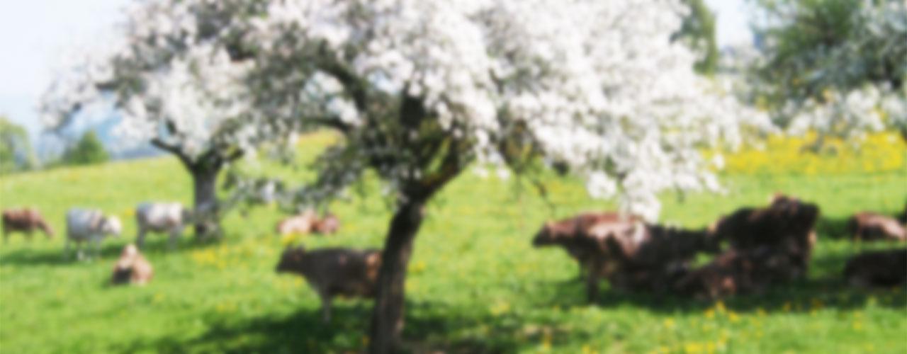 Kuehe-Maiweide-unscharf